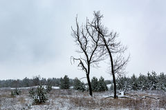 Old trees on winter meadow Royalty Free Stock Photos