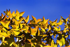 Old treetop and blue sky in autumn Stock Photos