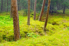 Scots or scotch pine Pinus sylvestris trees in the forest growing in Pomerania, northern Poland. Stock Photography