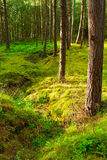 Scots or scotch pine Pinus sylvestris trees in the forest growing in Pomerania, northern Poland. Stock Image