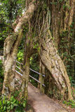 Old tropical live green banyan tree with tunnel arch royalty free stock image