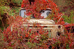 Old truck  overgrown red wild grapes Royalty Free Stock Photo