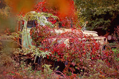 Old truck  overgrown red wild grapes Royalty Free Stock Photos