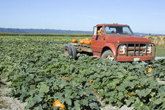 Old truck at pumpkin farm. An old truck decorating with pumpkin parking in a pumpkin patch farm Stock Images