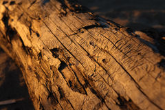 Old trunk. Royalty Free Stock Photography