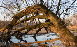 Old trunk bent over the water. Old trunk tree still alive bent from one river bank to another Stock Image