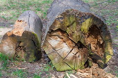 Old trunks. Of trees felled Stock Photography