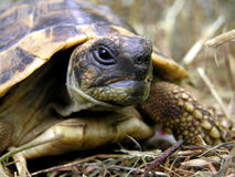 Old turtle. In nature Royalty Free Stock Photos