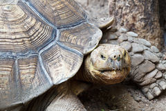 Old Turtle Stock Photography