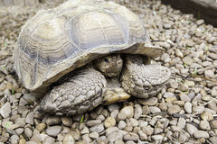 Old turtle Royalty Free Stock Images
