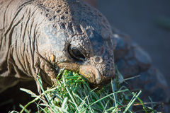 Old Turtle Eating Breakfast Royalty Free Stock Images