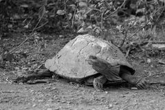 Old Turtle. A very old turtle looking a bit worse for wear Royalty Free Stock Image