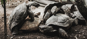 Old turtles breed , zoo Stock Photos