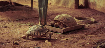 Old turtles breed , zoo Stock Photography