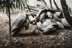 Old turtles breed ,the zoo Stock Photography