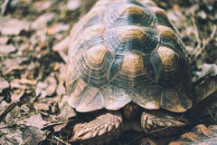 Old turtles hide head. In carapace Royalty Free Stock Image