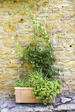 Old tuscan wall with plants Royalty Free Stock Images