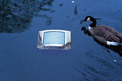 Old TV in pond water and floating goose Royalty Free Stock Photography