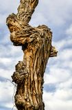 Old twisted cottonwood tree. A trunk of an old twisted cottonwood tree against cloudy sky on a desert in Utah stock photos