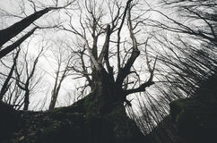 Old twisted dark tree Royalty Free Stock Image