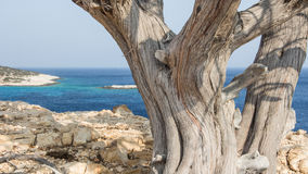 Old and twisted. Gnarled old trunk on an island aegean Stock Photo