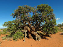 Old & Twisted Juniper Tree Royalty Free Stock Image