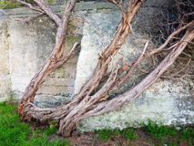 Old and Twisted Tree Trunk Stock Photos