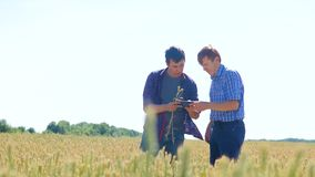 Old two farmers explore are studying. man Wheat Field summer in the field wheat bread. slow motion video Smart farming. Farmer ecology concept lifestyle stock footage