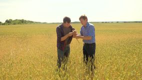 Old two farmers explore are studying to your smartphone. man Wheat Field summer in the field wheat bread. slow motion. Video. farmer Smart farming lifestyle stock video