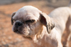 Old ugly dog has beautiful bite the bread. Royalty Free Stock Photo