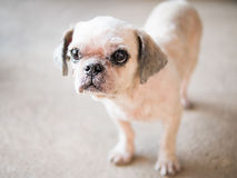 Old ugly dog has beautiful bite the bread. Royalty Free Stock Photography