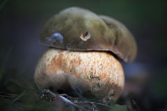 Old ugly mushroom. Royalty Free Stock Images
