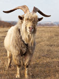 Old unkempt goat with big horns. Stock Photo