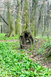 Old unusual tree trunk in forest at early spring, magic atmosphere Royalty Free Stock Image