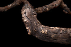 The old vine. On an isolated background royalty free stock photography