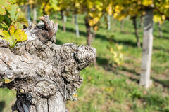 Old vine with cracked bark Royalty Free Stock Photography