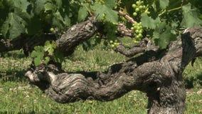 Old vine stock video