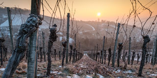Free Old Vine In Sunset With Ice And Snow Stock Images - 89380024