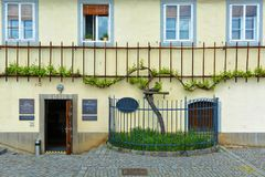 The Old Vine in Maribor. Oldest vine in the world in Maribor, Slovenia. Stara Trta - at over 400 years old, this is the oldest living grape vine, and is one of stock photography