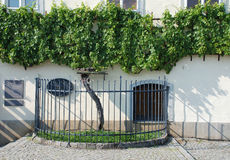 The Old Vine in Maribor. Maribor, Slovenia - August 6th 2015. The Old Vine, Stara Trta - at over 400 years old, this is the oldest living grape vine, and is one Stock Images