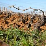 Old vine plant Stock Photo
