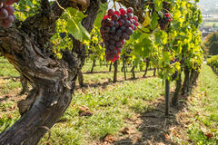 Old vine with red pinot noir grapes Stock Image