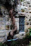 Old vine tree stem Royalty Free Stock Photos