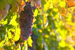 Old Vine's Grape In Autumn Morning Royalty Free Stock Photography