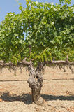 Old vine. Zinfandel vine laden with fruit early in the growing season prior to turning color Royalty Free Stock Image
