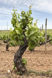 Old vines Royalty Free Stock Photography
