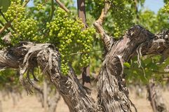 Old Vines. In a California vinyard Royalty Free Stock Photography