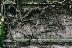 Old vines cover Royalty Free Stock Photography