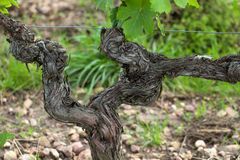 Old vines in the flowering season. Tuscany, Italy royalty free stock image