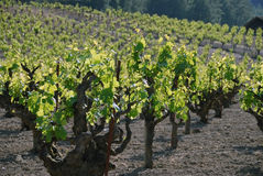 Old Vines Sonoma. Century old Zinfandel vines in Sonoma county, Northern Califoria Royalty Free Stock Image